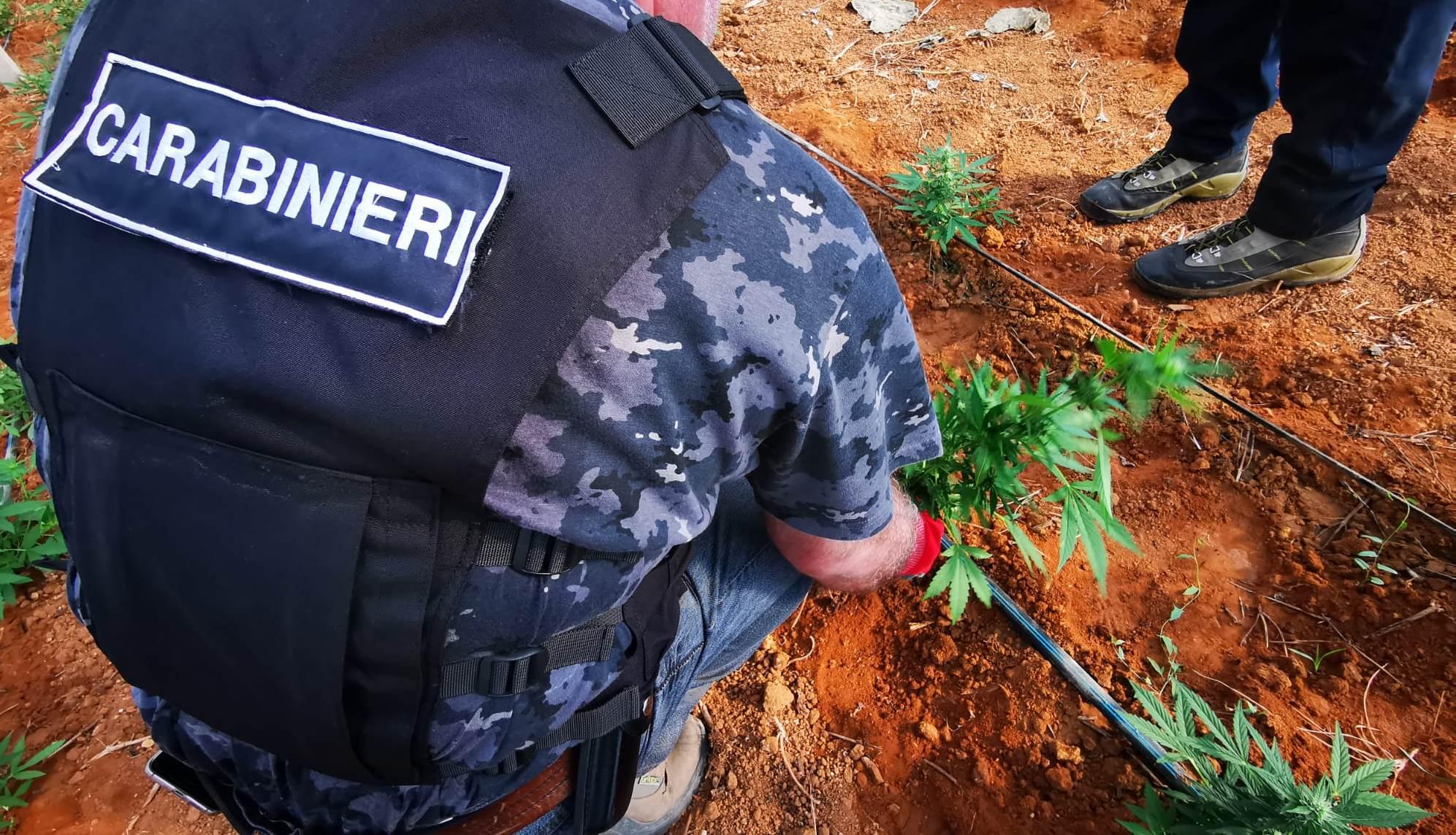 Gela, un arresto per coltivazione di sostanza stupefacente: piantagione occultata all'interno di serre dove venivano coltivate zucchine
